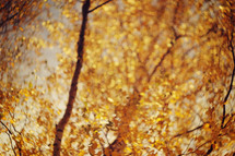 yellow fall leaves in sunlight
