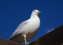 An upclose portrait of a Sea gull perched on a roof against a clear blue sky with just a faint cloud in the background.
