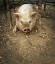 Pig in the dirt in a pen.