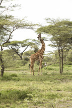 Giraffe stretching his neck to eat leaves from a tree.