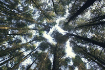 looking up to the top of trees