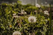 dandelions in a lawn