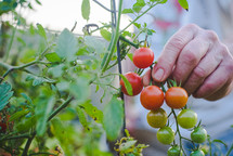 elderly man's hand  picking cherry tomatoes off of a vine in the summer.