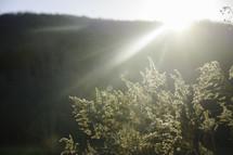 Sun rays shining over a hill on a bush.