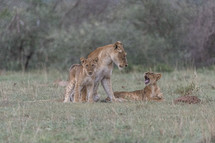 mother lioness and her cubs