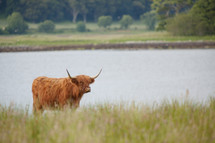 Longhorn steer in the grass by a lake.