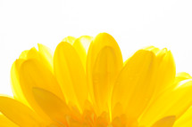 petals of a yellow gerber daisy against a white background
