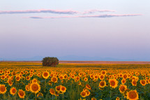 Many rows of sunflowers in a field. Hint of the mountains in the background