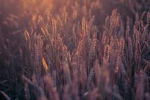Sun shines on stalks of wheat.