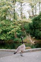 Canada goose by a pond