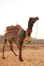 a decorated riding camel in India