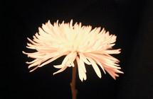 white chrysanthemum against a black background
