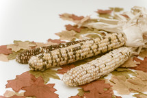 Indian corn cobs on fall leaves.