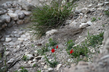Lilies in rocky field