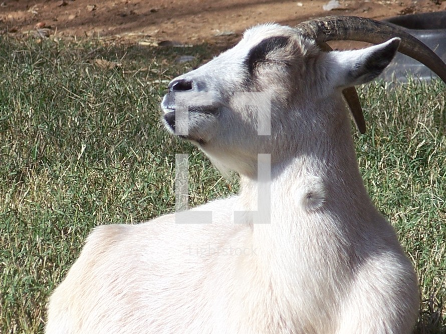 A close up photo of a White Goat basking in the sun to get warm on a grassy meadow on a farm in rural Virginia.
