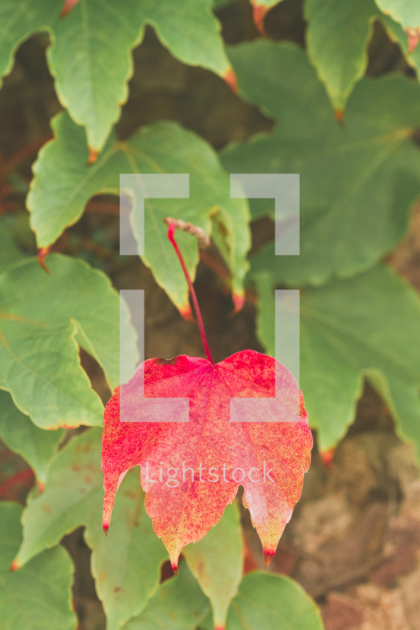 single red leaf amongst green leaves