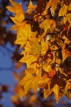 Fall leaves. Yellow, autumn, tree, season.