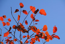 red autumn leaves on a tree against a blue sky