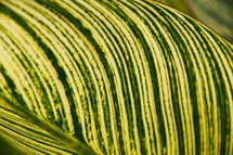 Broad green striped leaf background