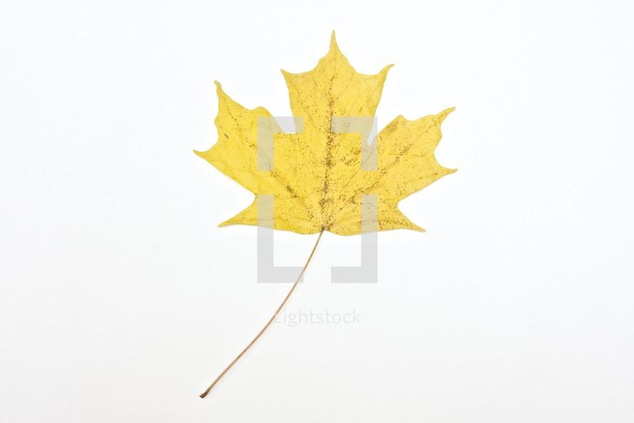 Yellow leaf isolated on white background.