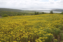 A field of yellow flowers with the ocean in the distance.