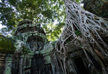 tree roots growing over buddhist temple ruins. Jungle, ancient, hindu.