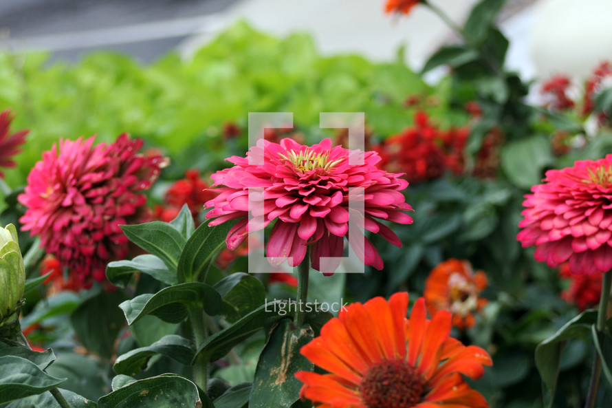 red and fuchsia flowers