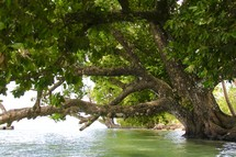 A large tree growing over water