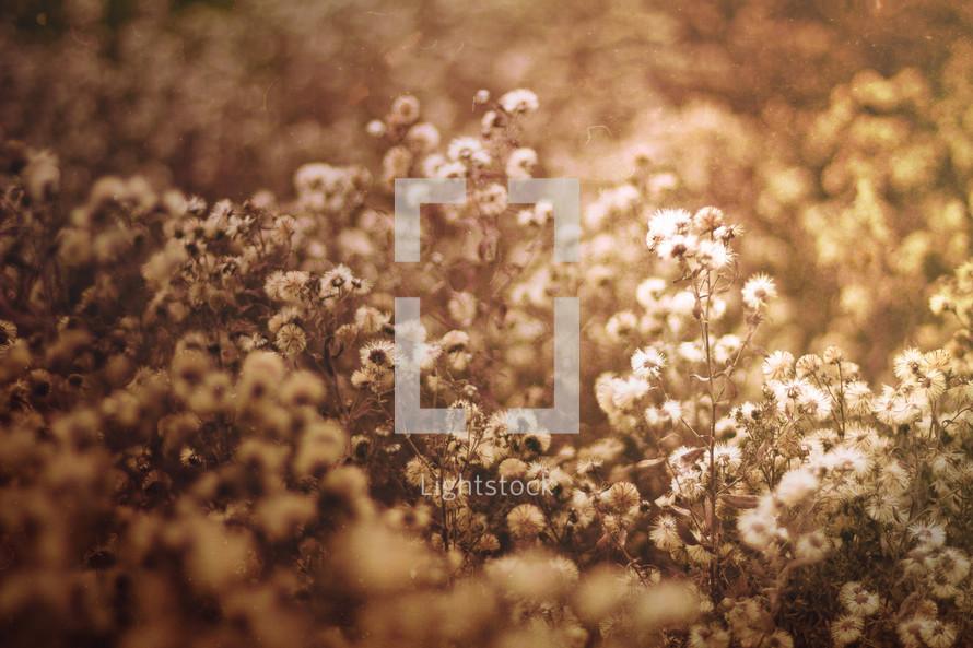 small fuzzy wildflowers