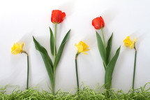 red tulips and yellow daffodils and decorative grass border on white background