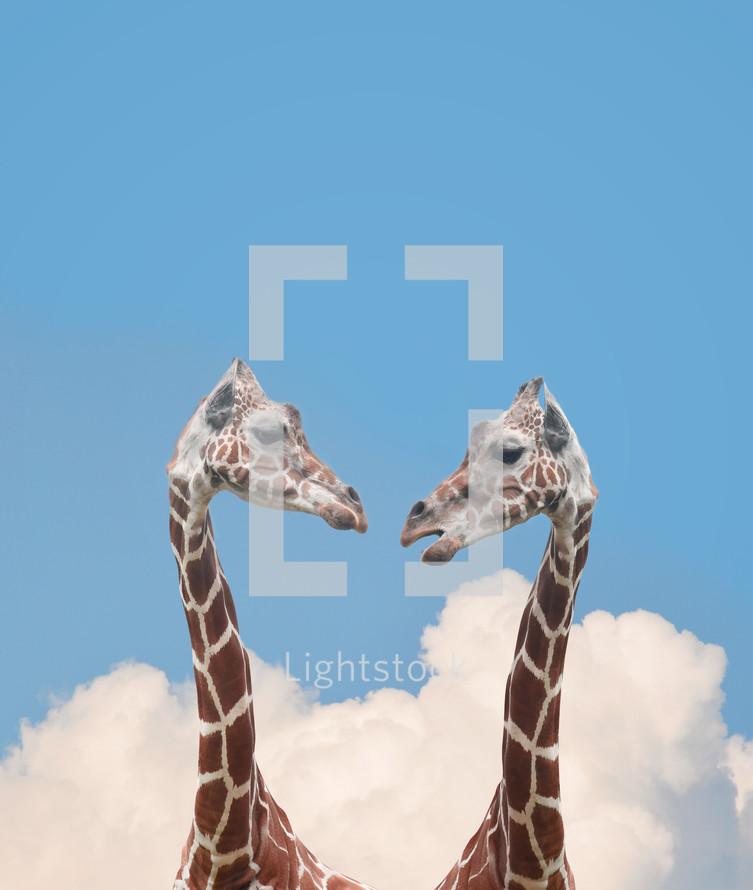 giraffes gossiping