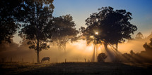 Foggy morning with sunlight through the trees over a cow pasture.