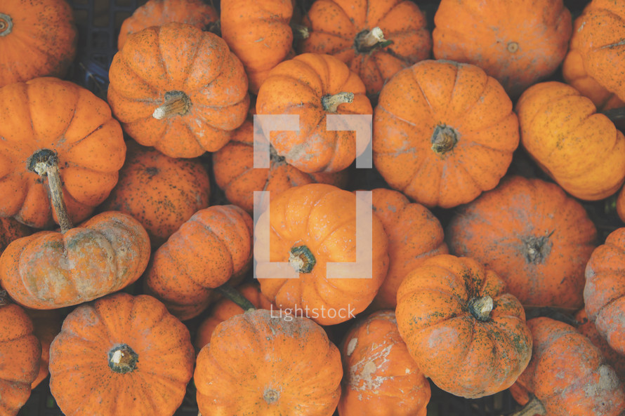 mini orange pumpkins for fall or thanksgiving