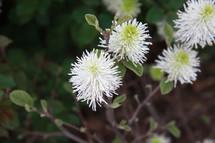 white puffy flower