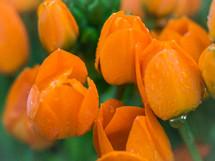 Morning dew on tulips.
