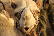 face of a camel