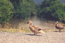 ducks by a pond