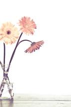 gerber daisies in a vase