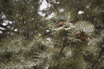 Snow falling on evergreen trees.