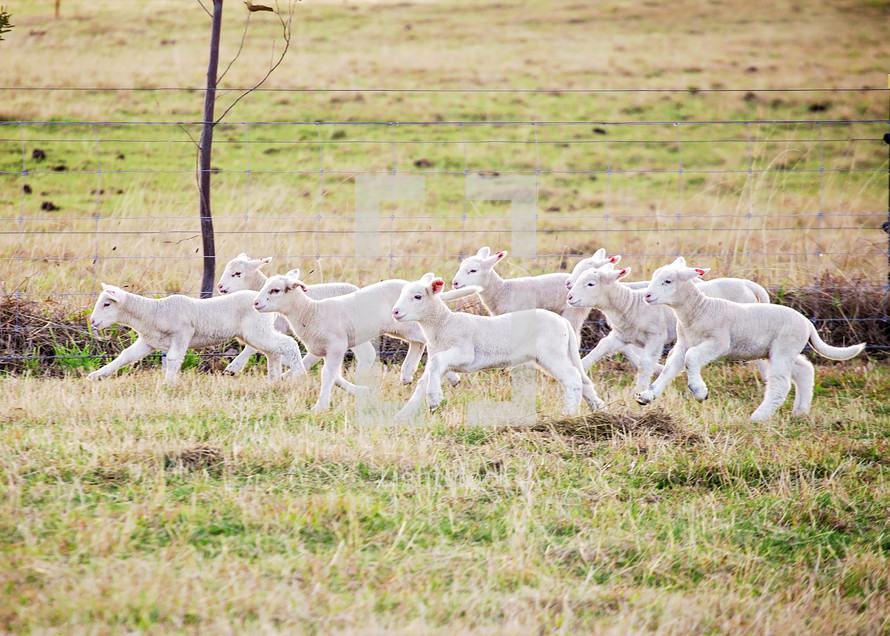 lambs running in a pasture