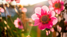 pink spring flowers in sunlight