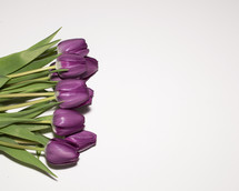 purple tulips on white