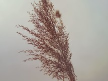 A dried plant against a white background.