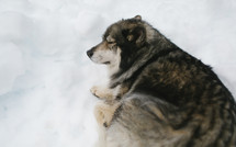 resting dog in snow