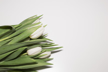 white tulips on a white background