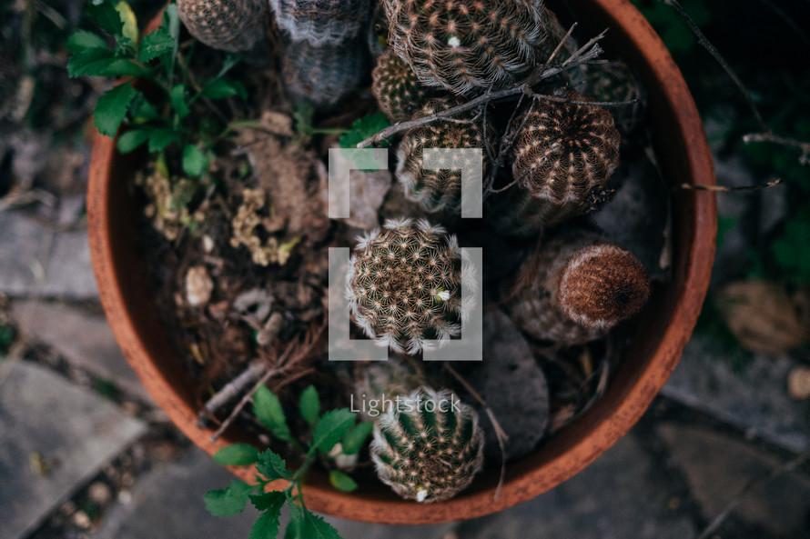 clay pot with cactus