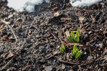 sprout in mulch and snow
