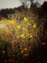 yellow flowers in warm afternoon sunlight