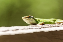 green anole  resting in the sunshine.