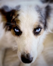 Face of a dog with blue eyes.